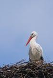 Cicogna bianca europea Fotografia Stock Libera da Diritti