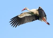 Cicogna bianca europea in volo Immagini Stock Libere da Diritti