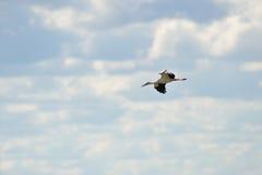 Cicogna bianca nel cielo Fotografie Stock Libere da Diritti
