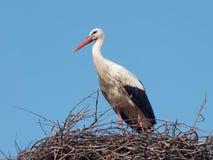 Cicogna bianca nel nido (ciconia di Ciconia) Fotografia Stock Libera da Diritti
