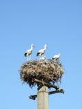 Cicogna bianca sul nido Immagini Stock Libere da Diritti