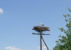 Cicogna bianca sul nido al palo elettrico Fotografie Stock Libere da Diritti