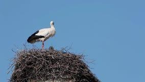 Cicogna bianca sul nido archivi video