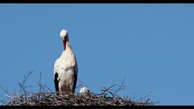 Cicogna bianca sul nido video d archivio