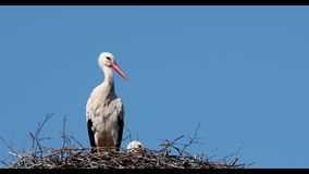 Cicogna bianca sul nido stock footage