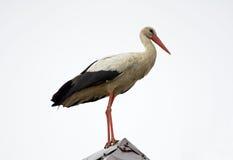 Cicogna bianca sul tetto Immagine Stock