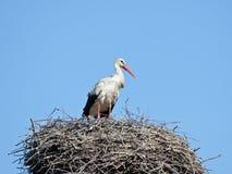 Cicogna bianca in un nido Fotografie Stock Libere da Diritti