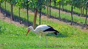 Cicogna bianca, vigne, l'Alsazia Fotografie Stock Libere da Diritti