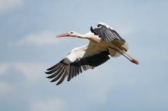Cicogna bianca in volo immagini stock