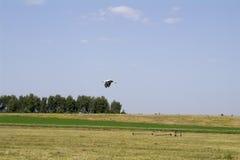 Cicogna che sorvola il campo, fondo vago Fotografie Stock