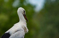 Cicogna che sta nel nido Fotografie Stock