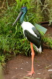 Cicogna con il collo nera - Jabiru Fotografia Stock