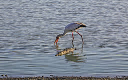 Cicogna dal becco giallo e coccodrillo, riserva di caccia di Selous, Tanzania Fotografie Stock