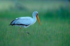 Cicogna dal becco giallo, ibis di Mycteria, sedentesi nell'erba, delta di Okavango, Moremi, Botswana Fiume con l'uccello in Afric fotografia stock