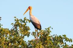 Cicogna dal becco giallo, ibis di Mycteria, in un albero di mopani fotografia stock libera da diritti