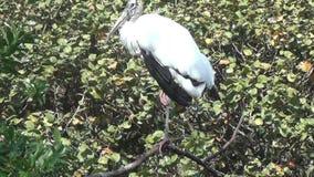 Cicogna di legno di Florida archivi video
