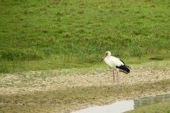Cicogna di Maguari che si leva in piedi nella palude Fotografia Stock