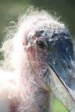 Cicogna di marabù Fotografie Stock Libere da Diritti