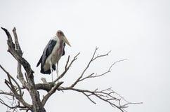 Cicogna di marabù Fotografia Stock Libera da Diritti