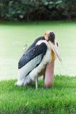 Cicogna di marabù Fotografia Stock