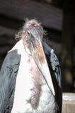 Cicogna di marabù (crumenifer di Leptoptilos) fotografia stock