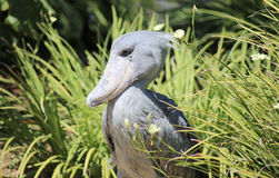 Cicogna di Shoebill Fotografia Stock