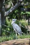 Cicogna di Shoebill Fotografia Stock Libera da Diritti