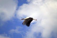 Cicogna di volo Fotografie Stock Libere da Diritti