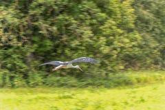 Cicogna di volo sopra l'erba Albero nel fondo panning fotografia stock libera da diritti
