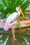 Cicogna dipinta Fotografia Stock