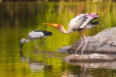 Cicogna dipinta e cicogna asiatica del openbill fotografie stock