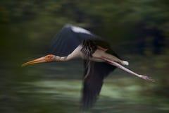Cicogna dipinta in volo con le ali vaghe Immagine Stock