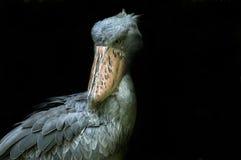 Cicogna fatturata pattino Fotografia Stock