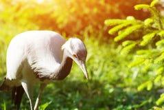 Cicogna grigia che cerca alimento in erba verde Immagini Stock