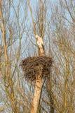 Cicogna maschio su un nido Fotografie Stock Libere da Diritti