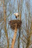 Cicogna maschio su un nido Immagini Stock
