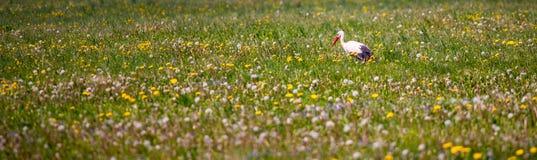 Cicogna nel panorama rurale del prato fotografia stock
