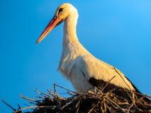 Cicogna nella sua fine del nido su fotografia stock libera da diritti