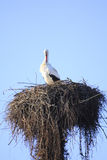 Cicogna in nido Immagine Stock Libera da Diritti