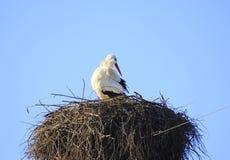 Cicogna in nido Immagini Stock