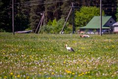 Cicogna in prato rurale Fotografia Stock Libera da Diritti