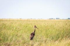 Cicogna Sella-fatturata giovane in alta erba Immagine Stock