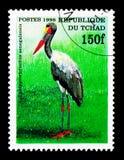cicogna Sella-fatturata (senegalensis) del Ephippiorhynchus, serie degli uccelli Immagini Stock