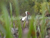 Cicogna su erba verde nel giorno soleggiato sul campo Fotografia Stock Libera da Diritti