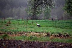 Cicogna su una terra arata alla ricerca di alimento immagine stock libera da diritti