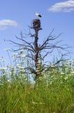 Cicogna sul nido immagini stock libere da diritti