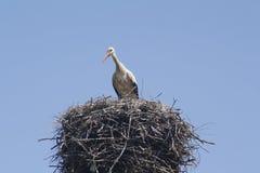 Cicogna sul nido Fotografia Stock
