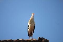 Cicogna sul tetto Fotografia Stock