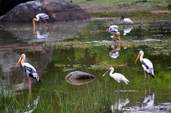 Cicogna variopinta, Srí Lanka immagine stock