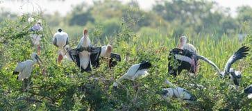 Cicogna verniciata Fotografia Stock